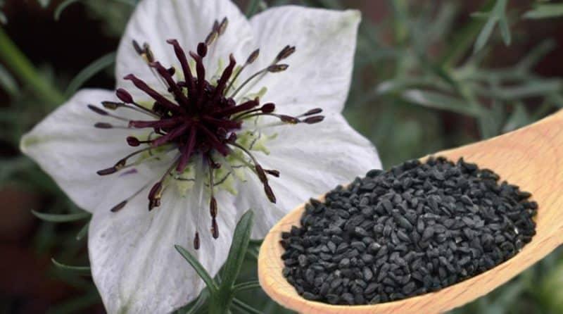 benefits of Nigella seeds kalonji 3
