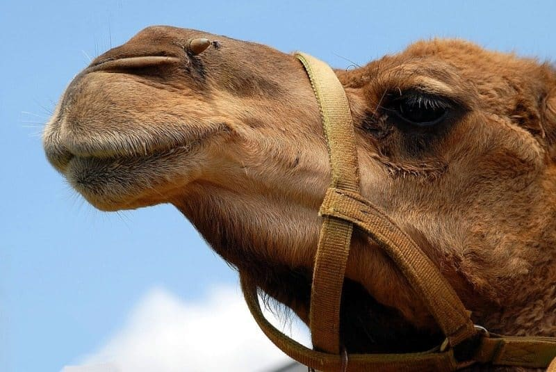 The Miracles of Camel Milk 4