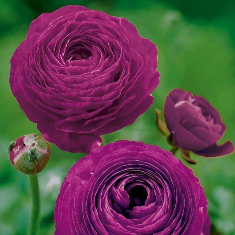 21 Most Expensive Flowers in the World 12